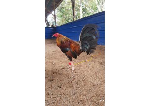 Ayam philipin import segel 1728 escolin